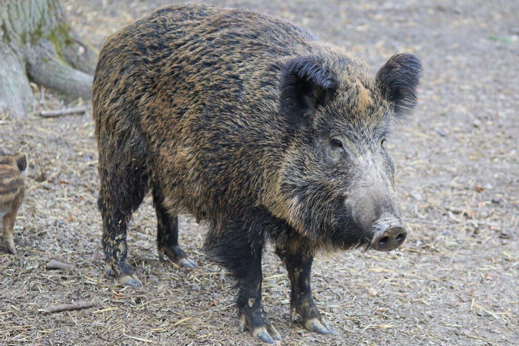 Symbolfoto Jagd Wildschwein