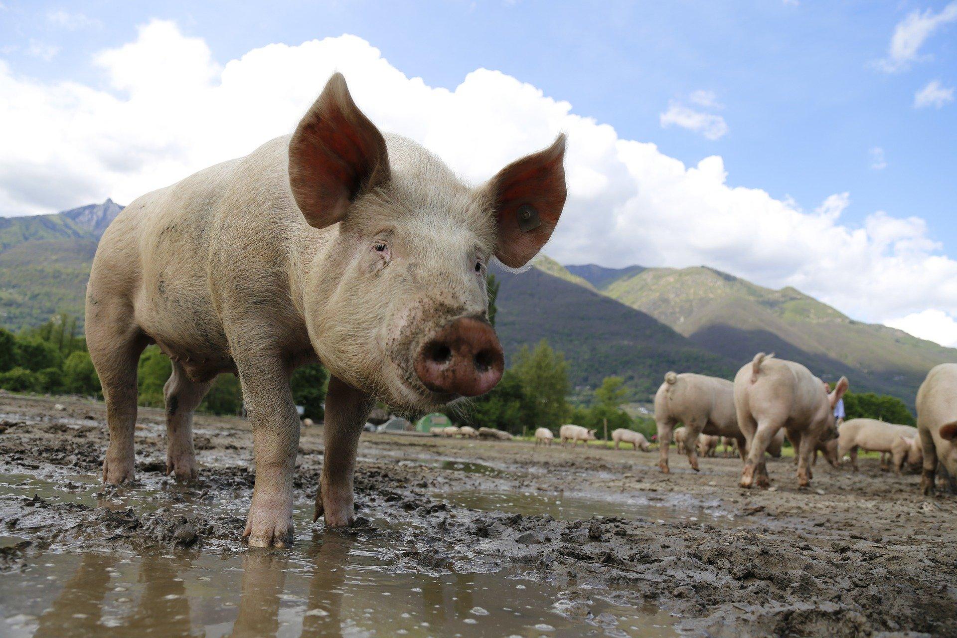 Symbolfoto Agrar Schwein Landwirtschaft