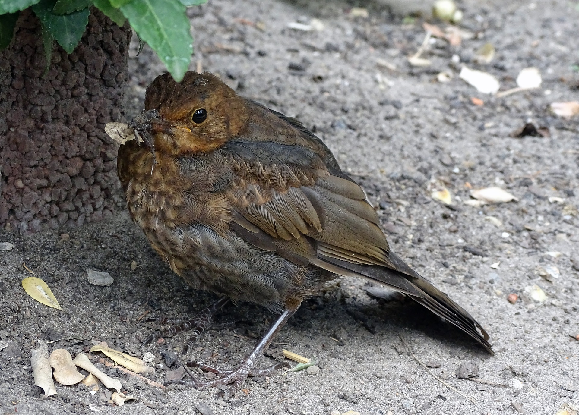 Symbolfoto Vogel Amsel Vogelgrippe