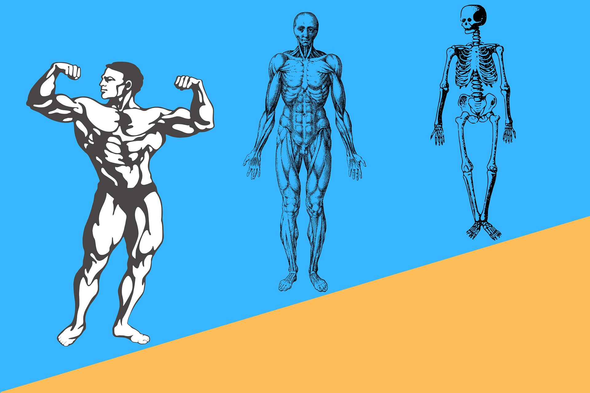 Symbolbild Muskel Skelett